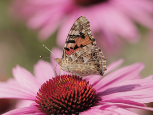 Insect, Painted Lady, Colourfull Flowers, echinacea, Close, butterfly