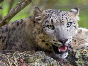 snow leopard, mouth, canines, open
