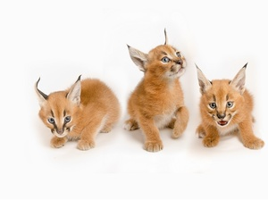 Caracal, Three, Tiny