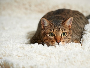 carpet, cat, White