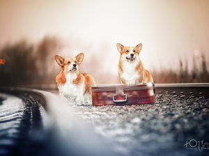 case, ##, Dogs, Welsh corgi pembroke, Two cars