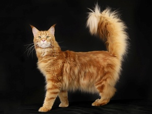 Norwegian Forest Cat, Big, cat