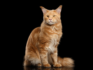 Maine Coon, ginger, cat