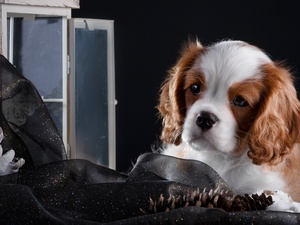 Window, Puppy, Cavalier King Charles spaniel