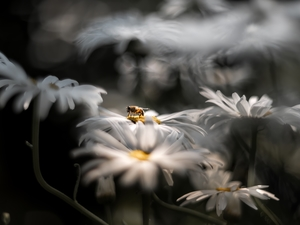 daisy, bee, rapprochement, chrysanthemums