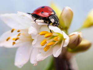 ladybird, Flowers, Close, White