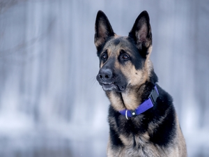 dog-collar, German Shepherd, Blue