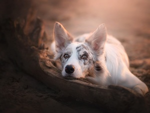 lying, Border Collie
