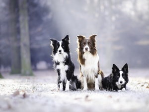 Three, Border Collie