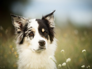 Meadow, Flowers, Border Collie, muzzle, dog