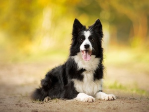tongue, Sand, Border Collie, muzzle, dog