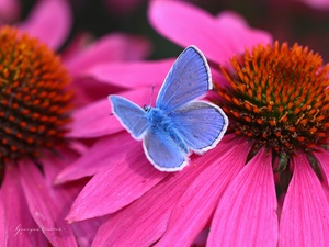 Dusky, echinacea, Colourfull Flowers, butterfly
