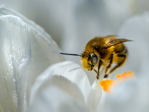 bee, Colourfull Flowers, Close, White