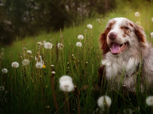 Australian Shepherd, grass, Common Dandelion, Meadow