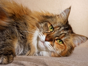 cat, lying, Maine Coon