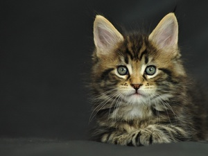 kitten, Maine Coon