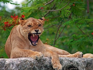 Lioness, Stone, Growling