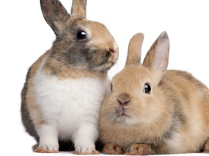 Rabbits, couple