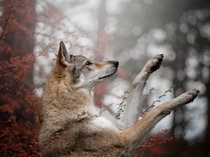 Czechoslovakian Wolfdog, dog, muzzle, paws, Bush, leaves, trees, viewes, forest