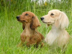 grass, Two cars, dachshunds