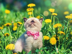 Flowers, dandelion, Loop, Meadow, kitten
