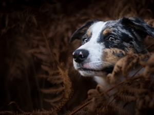 dog, fern, Dark Background, Australian Shepherd
