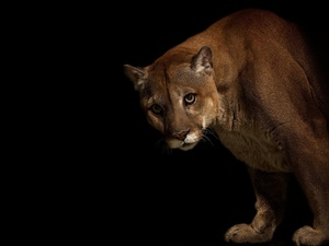 cougar, darkness