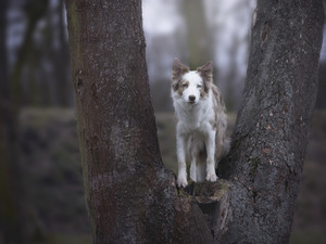 Border Collie, trees, dog