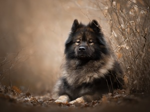 Eurasier, Twigs, dog, point, lying