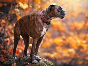 Stone, blurry background, boxer, dog-collar, dog