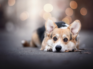 lying, dog, Welsh corgi pembroke