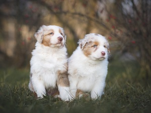 Australian Shepherds, grass, Dogs, puppies, Two cars