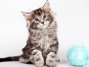 cat, ball, drag, Maine Coon
