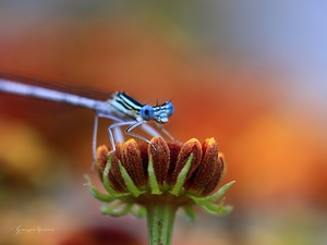 Colourfull Flowers, Blue, dragon-fly