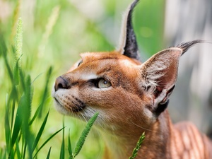 Caracal, Eyes, ears, grass