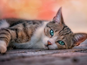 lying, turquoise, Eyes, cat