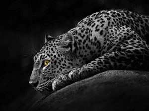 Eyes, Leopards, Yellow