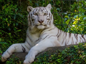 White, Bush, fence, tiger