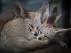 cuddled, Sleeping, fox, Fenki, Two cars