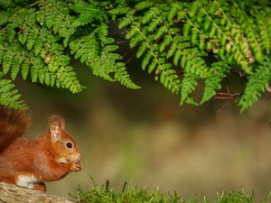 squirrel, fern