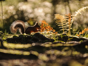 Ferns, Ginger, squirrel