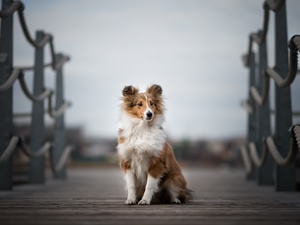 figure, bridges, shetland Sheepdog, Puppy, dog
