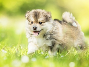 grass, Puppy, Finnish Lapphund