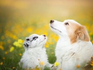 Dogs, Meadow, Flowers, Border Collie