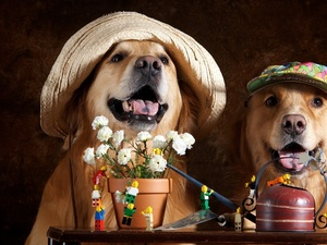 caps, Flowers, Dogs, Golden Retrievery, Two cars