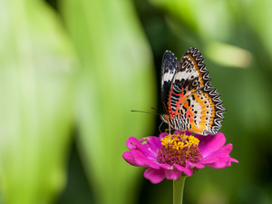 Colourfull Flowers, color, butterfly, zinnia