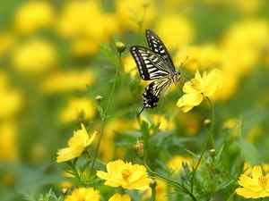Yellow, Cosmos, butterfly, Flowers
