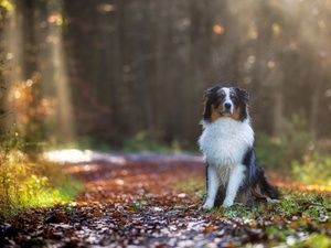 Way, Australian Shepherd, forest