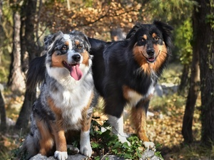 forest, Dogs, viewes, Australian Shepherds, Two cars, trees, Plants