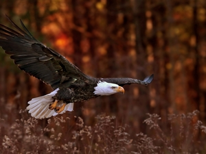 American Bald Eagle, grass, forest, flight